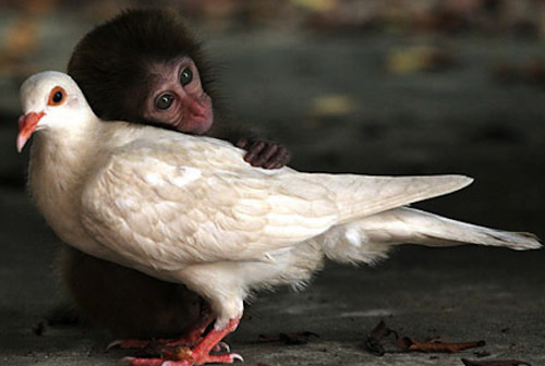 Inspiring Monkey and Pigeon Hug Photograph