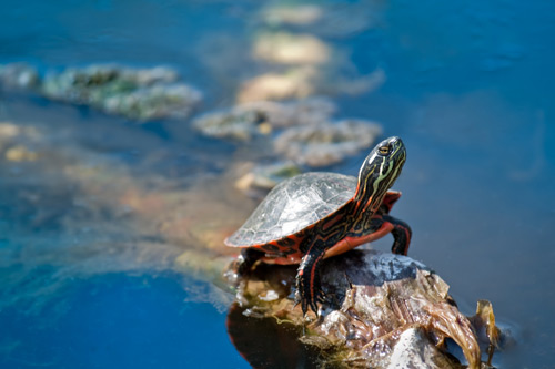 Baby Midland Painter Turtle Photo