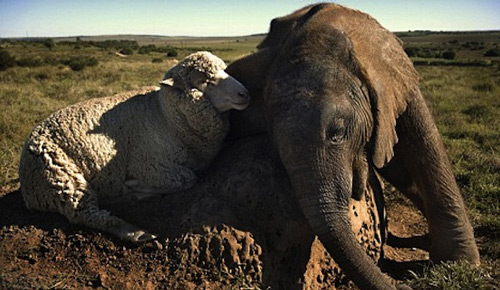 Extremely Sweet Sheep and Elephant Photo