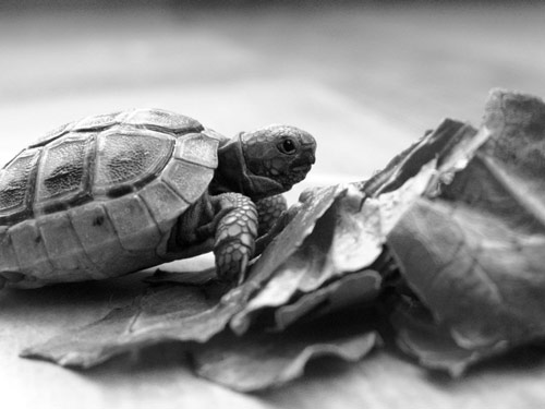 Witty-Looking Baby Turtle Photo