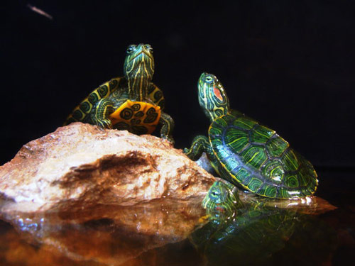 Splendid Baby Turtle Photo