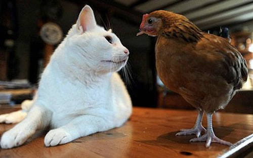 So Unusual Cat and Chicken Photography