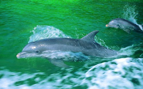 Dolphins In Motion WP