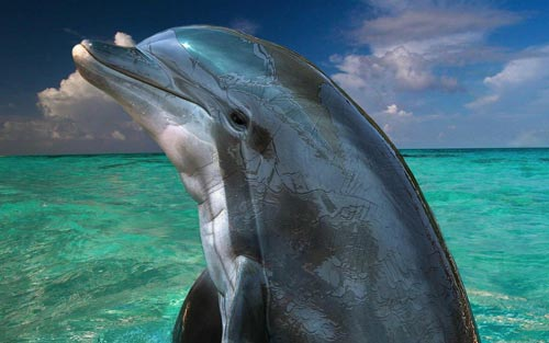 Extremely Cute Dolphin WP
