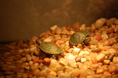 Somewhat Intriguing Baby Turtle Photo