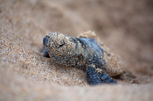 Baby Turtle Filled With Sand Photo