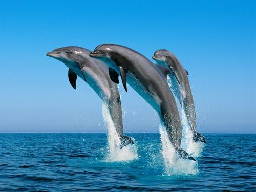 Amusing Dolphin WP