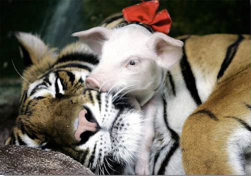 So Adorable Tiger and Piglet Photography