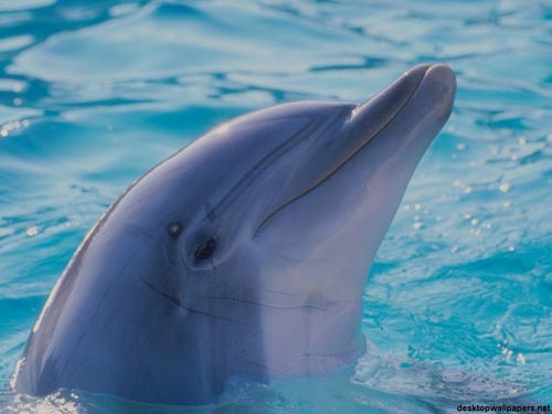 Charming Dolphin WP