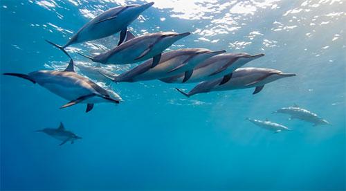 Gliding Dolphin WP