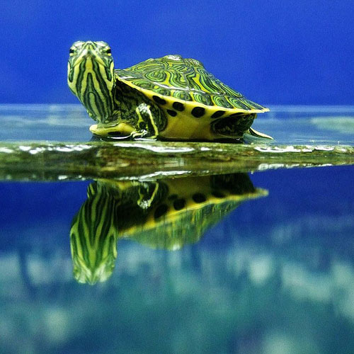 Very Pleasant Baby Turtle Photo