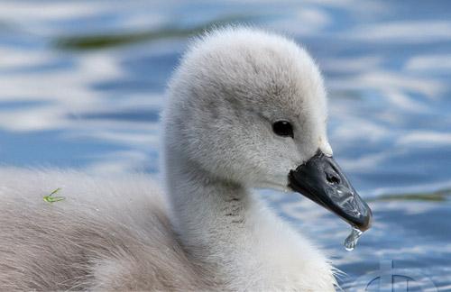 So Lovely Swan Photo.