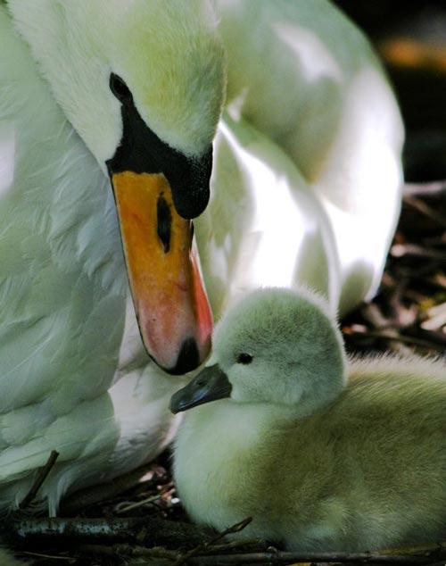 Very Adorable Swan Photo