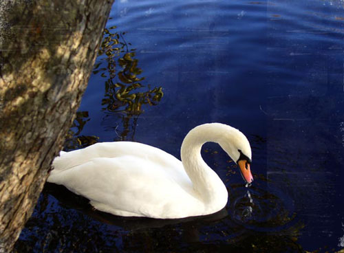 So Elegant Swan Photo