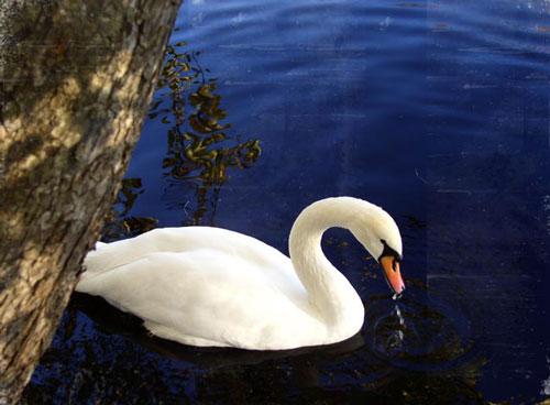 So Elegant Swan Photo