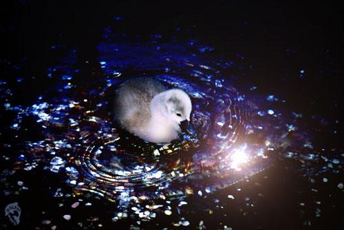 Yet So Fancy Swan Photo