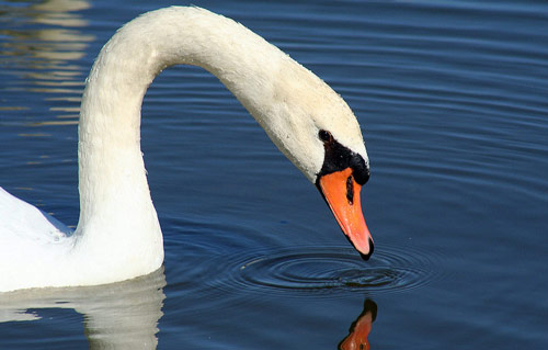 So Beautiful Swan Photo