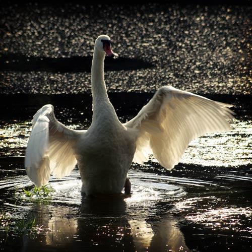 Undeniably Glamorous Swan Photo