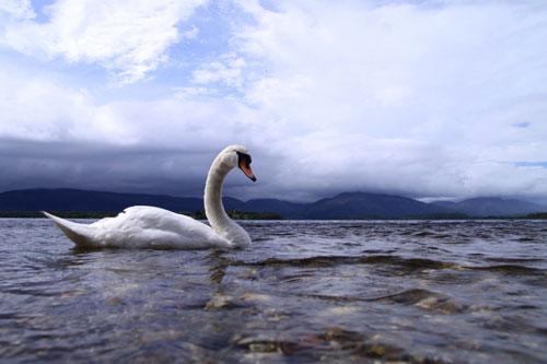 Gleaming Swan Photo