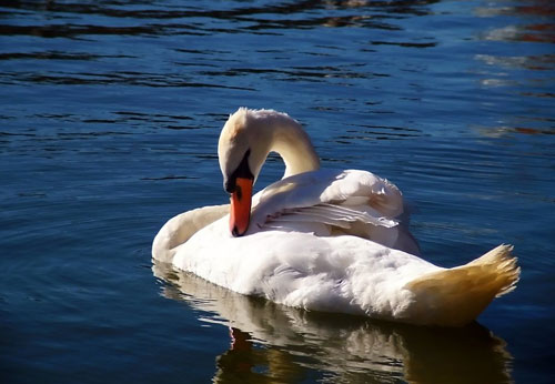 Precious Looking Swan Photo