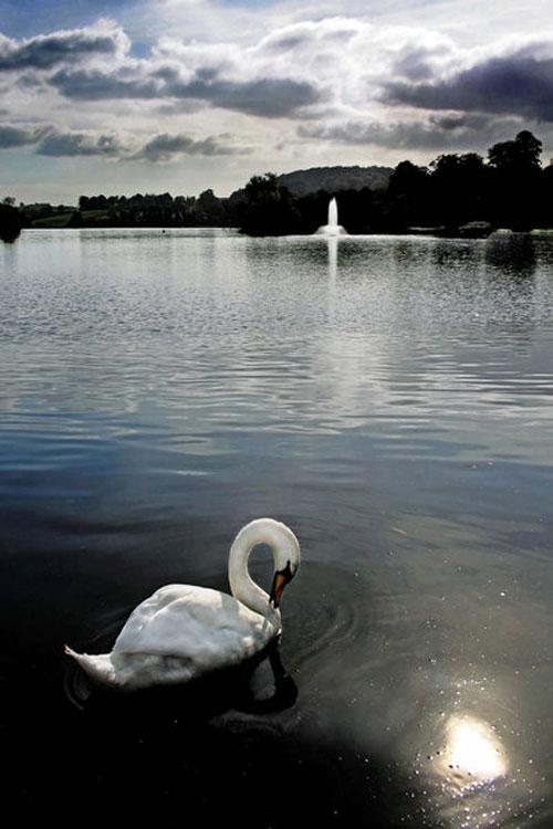 Grotesque Swan Photo