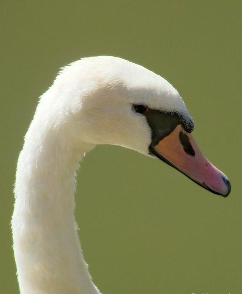 Poised Swan Photo