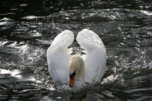 Very Glamorous Swan Photo