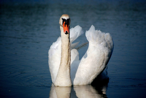 Remarkable Swan Photography