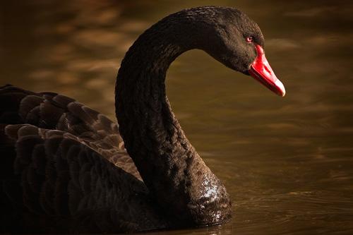So Cute Swan Photo