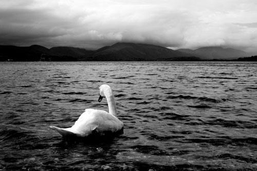 Blushing Beautiful Swan Photo