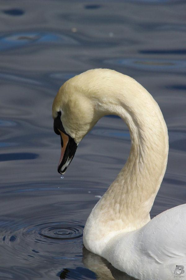 So Attractive Swan Photo