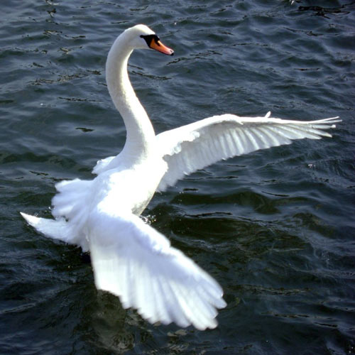Clever Looking Swan Photo