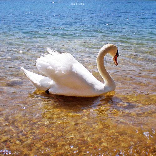 Bright Looking Swan Photo