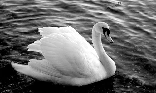 So Charming Swan Photo
