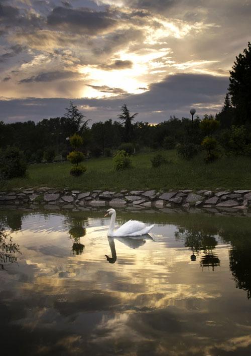 Cheerful Swan Photo