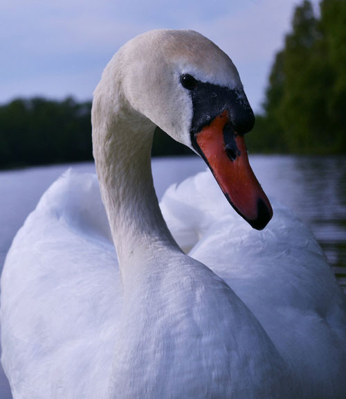 Cooing Swan Photo