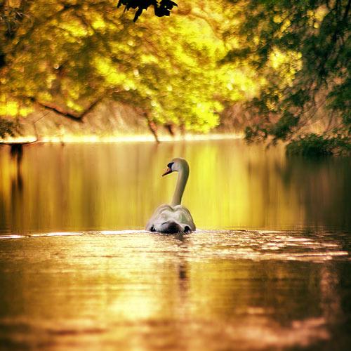 Full of Enthusiasm Swan Photo