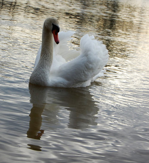 Just as Pretty Swan Photography