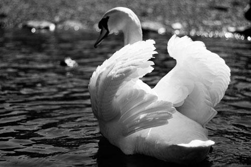 Amusing Swan Photo