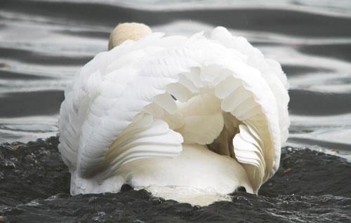 Exuberant Swan Photo
