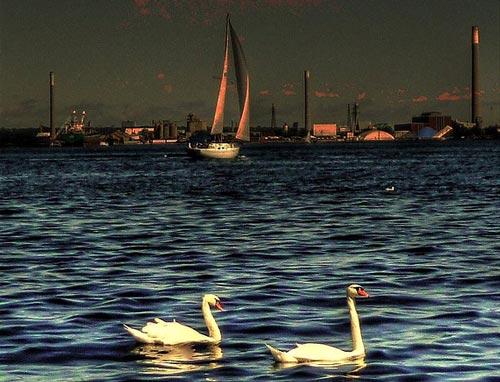So Great Swan Photo