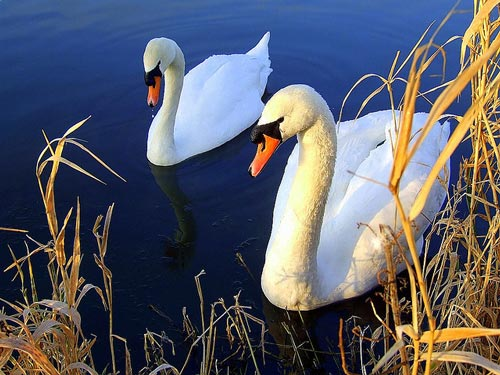 Very Pleasant Swan Photo