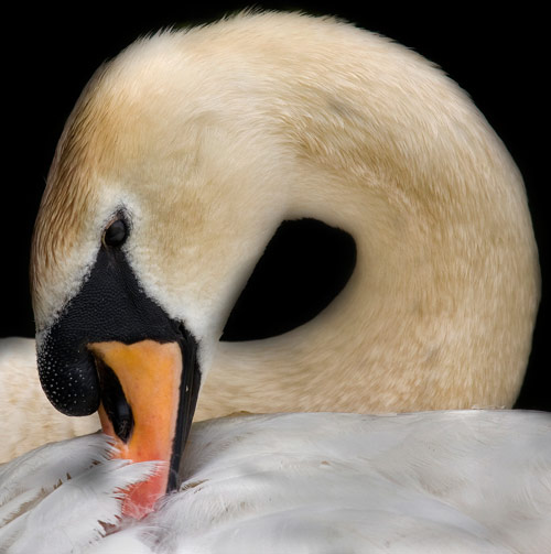 Cuddly Swan Photo