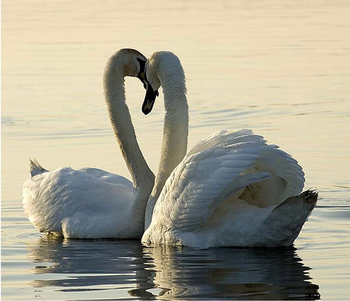Just as Pretty Swan Photo