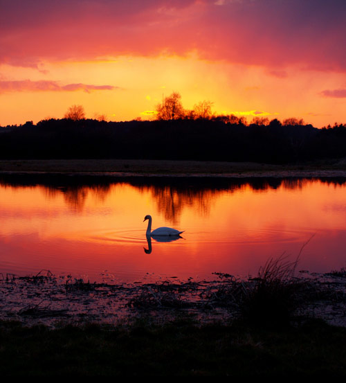 So Lovable Swan Photo
