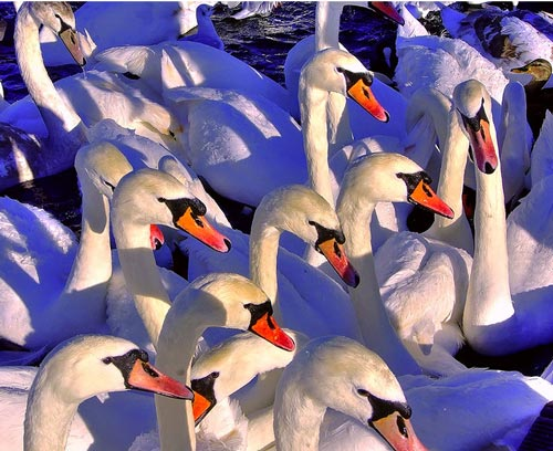 Indeed So Elegant Swan Photo