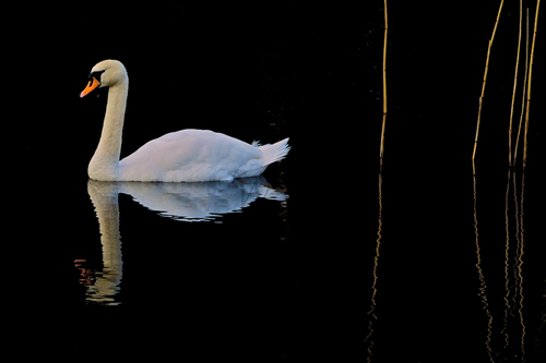 Just as Amazing Swan Photo