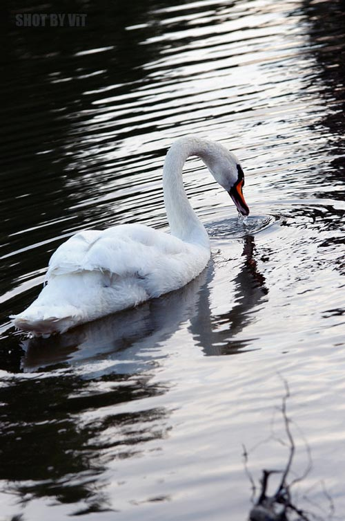 As if Singing Swan Photo