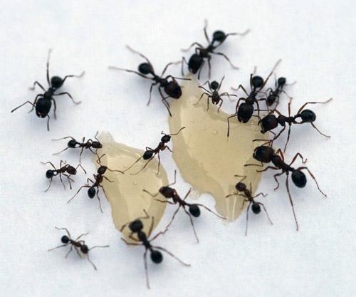 Festive ants photography.