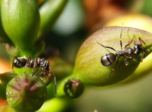 Surprisingly inlove with each other ants photogaphy.